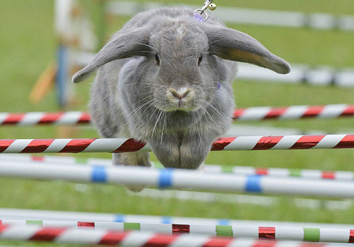 Show jumping bunnies